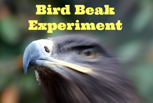 Bird Beak Experiment