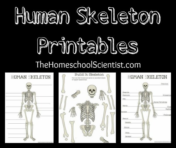 photograph about Printable Human Skeleton named Human Skeleton Printables - The Homeschool Scientist